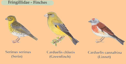 greek finches