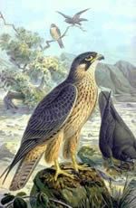 falcon eleaonora's