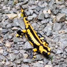 fire salamander leava alone danger poisonous