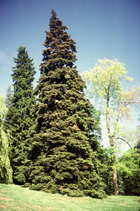 greek fir tree